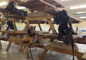 group of dogs on leashes sitting throughout stack of picnic tables