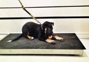 black dog on leash sitting and eating raw dog food