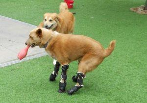 dog with prosthetic legs playing with toy